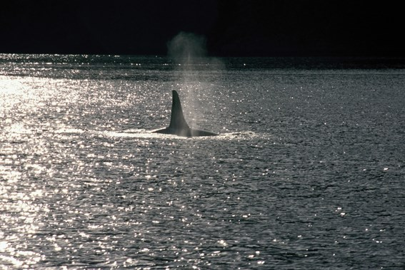 Orca, Johnston strait